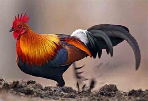 ayam hutan merah nenek moyang ayam peliharaan ayam laga