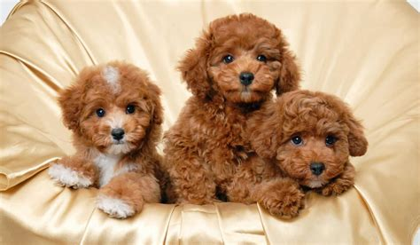most hypoallergenic dogs small hypoallergenic dogs petlife