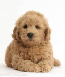 doodle doodle breeders best 25 f1b goldendoodle ideas on