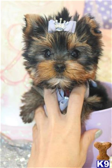yorkie puppies for 100 dollars or less baby yorkies for sale 100