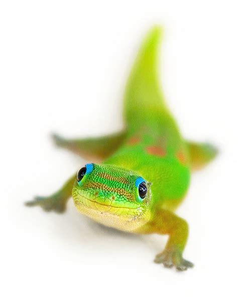 Smiling Gecko photo   Yves Rubin photos at pbase.com
