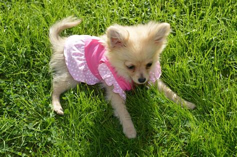 7 month puppy chihuahua puppy 7 months cwmbran torfaen pets4homes