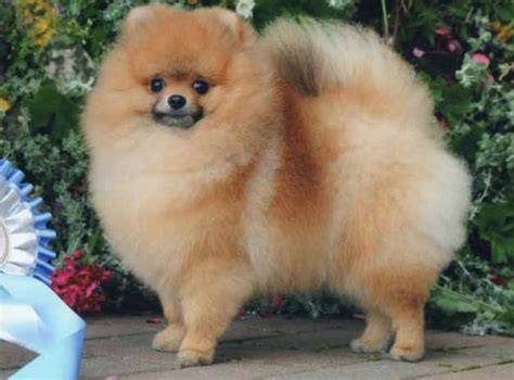 crufts pomeranian professional grooming shoo and conditioner shoo conditioner pet