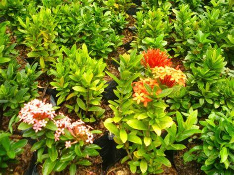 pohon bunga soka jambon tanaman bunga asoka berbakat