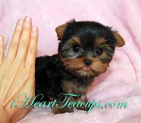 tiny teacup yorkies for sale in teacup puppy pictures