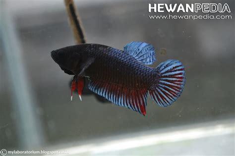 Makanan Ikan Cupang Agar Cepat Ganas cara merawat ikan cupang agar ganas dan jadi cupang aduan