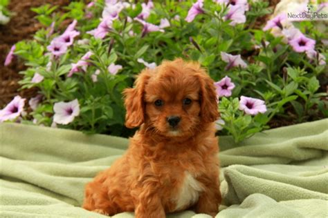 cavapoo puppies near me contact me
