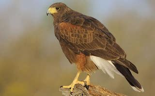 hawks that hunt in packs birds and their habitats history and culture harris s hawk