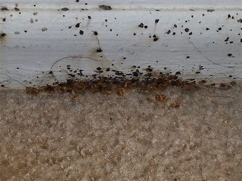 bed bug nest pictures well developed bed bug nest at the baseboard where carpet