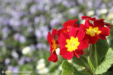 flower pictures primula picture flower pictures 5538