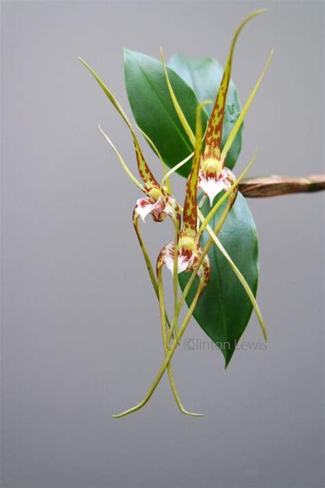 orchidea nera fiore 1000 idee su fiori orchidea su orchidee