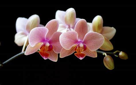 orchidea fiore linguaggio dei fiori orchidea linguaggio dei fiori