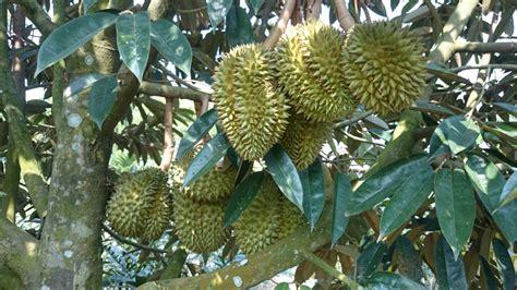 asiknya nikmati durian sambil jaga hutan good news
