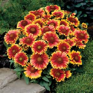gaillardia arizona sun plant plants plus store