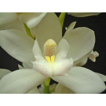 Orchid Arrangement Jadore White With Mini White Orchids Mini Cymbidium Orchids Snow White Groomsmen Minis And