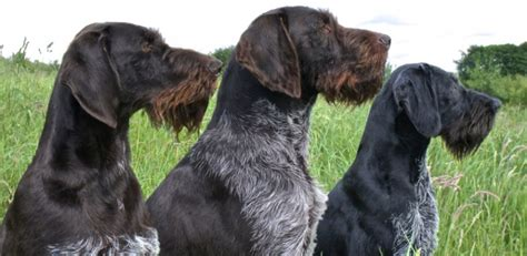 drahthaar puppies kimmax german wirehaired pointer gwp drahthaar uk