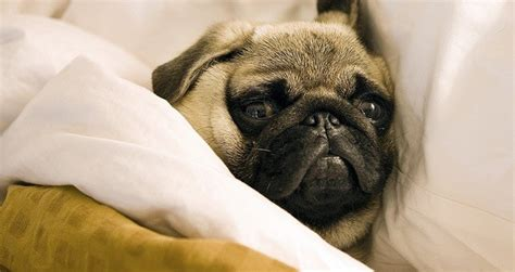 pug puppy has diarrhea 7 amazing facts about pugs that ll make you want to one or more in your stat