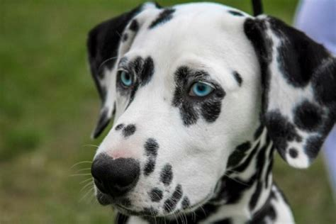 what are spots on dogs 66 unique names for dogs with spots pethelpful