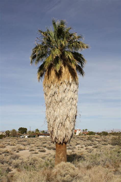 California Palm tree of the week washingtonia filifera california fan