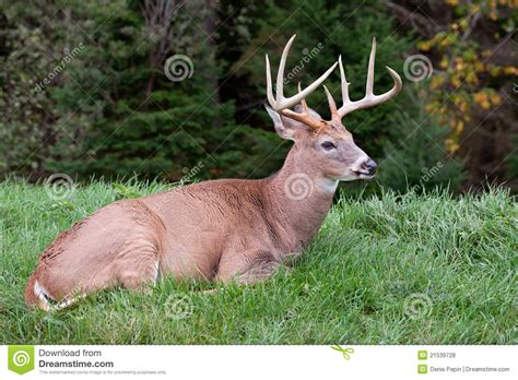 male deer laying on the grass royalty free stock photos