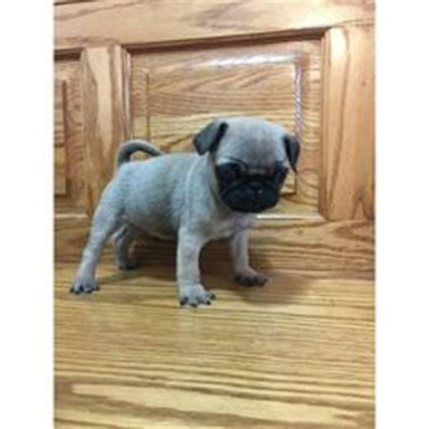pug breeders near chicago pug puppies for sale in ohio puppies for sale near me pug puppies for