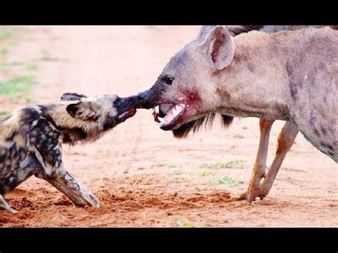 imagenes de leones vs hienas perros salvajes vs hienas 2015 vida salvaje hermosa