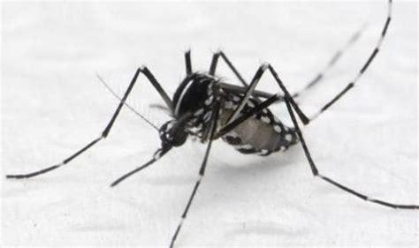 Raket Nyamuk Di Indo ini dia jenis nyamuk penyebab penyakit 171 jendela kita