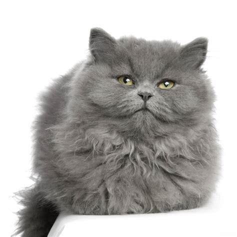 google imagenes de gatos gatos gordos buscar con google gatos grises