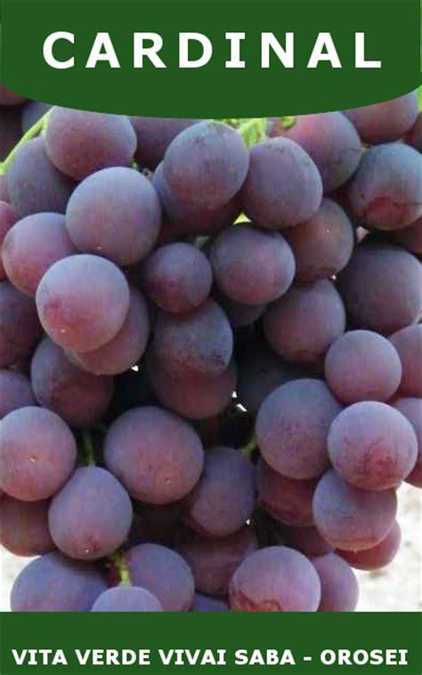 viti in vaso uva da tavola viti innestate in vaso 10