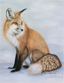 red fox drawing by lena auxier