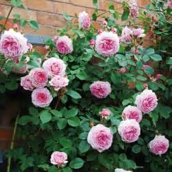 james galway english rose climbers english roses