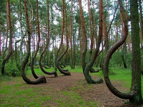 mysterious crooked forest in west pomerania poland crooked forest unusual places