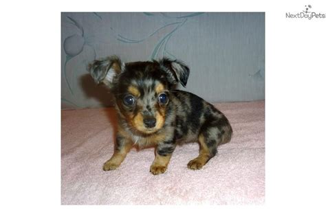 teacup chiweenie puppies for sale pin teacup dachshund puppies for sale in florida on