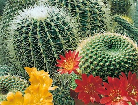 Biji Benih Tanaman Bunga True Desert cactus flowers of the desert 3 benih toko benih tanaman