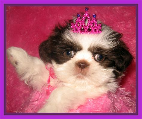 shih tzu puppies for sale in cleveland ohio cleveland ohio puppies for sale happy memorial day 2014