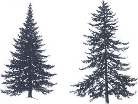 spruce tree silhouette trees pinterest spruce tree