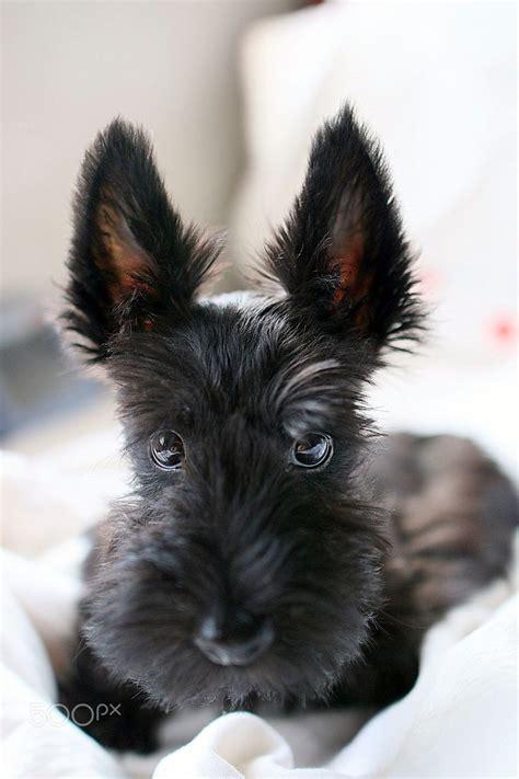 scottie puppy 25 best ideas about scottish terriers on scottie dogs scottish terrier