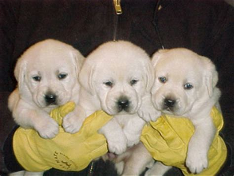 free puppies in tulsa labrador puppies kansas city dogs in our photo