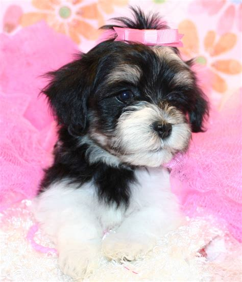 havanese puppies for sale in tn havanese breeder tennessee knoxville tn havanese puppies for sale