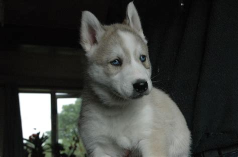 siberian husky puppies for sale in colorado siberian husky puppies for sale newton le willows merseyside pets4homes
