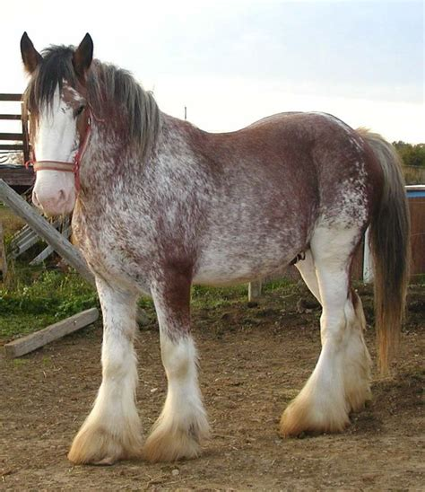 25 best ideas about clydesdale on pinterest clydesdale