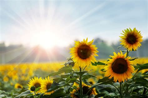 Rural Development Usda by Watch For Sunflower Diseases Grainews