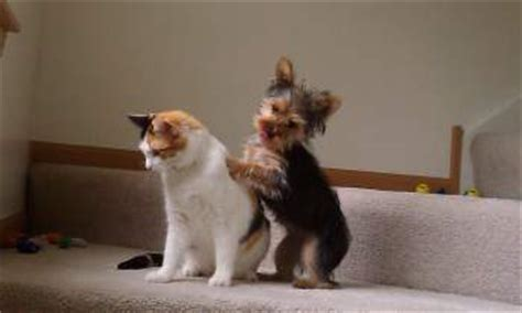 yorkie with diarrhea terriers and cats