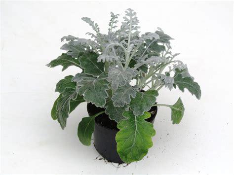 harros pflanzenwelt senecio cineraria silberblatt kaufen harro s
