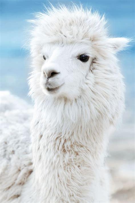 Gorgeous Alpaca From by Gorgeous Alpaca Animals
