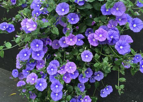 blue convolvulus  pot   plants garden supplies
