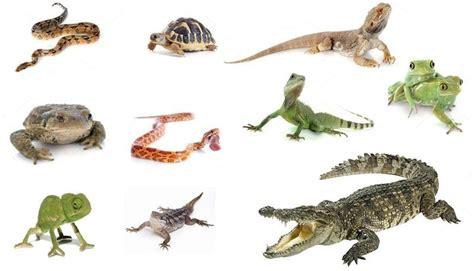 imagenes de animales reptiles gu 237 a del seguro para iguanas serpientes tortugas