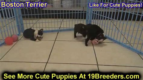 puppies for sale in santa fe nm boston terrier puppies dogs for sale in las cruces county new mexico nm