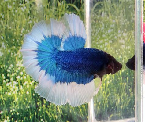 Betta Fish Hm Blue Butterfly Halfmoon Hm Betta Fish My Water Pets