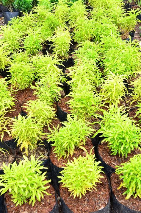 Tanaman Sirih Gading Kuning Pohon Sirih Gading Kuning 0895336476769 mengenal brokoli hias daun kuning